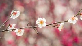 Plommon som blomstrar i vår Arkivbild