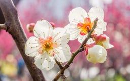 Plommon som blomstrar i vår Arkivbilder