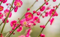 Plommon som blomstrar i vår Arkivfoto