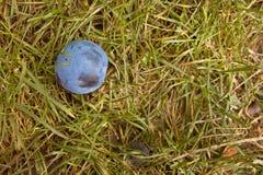 Plommon som ligger på en jordning Arkivfoto