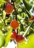 Plommon som växer på träd Arkivfoto