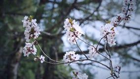 Plommonblomma på trädfilialerna royaltyfria foton
