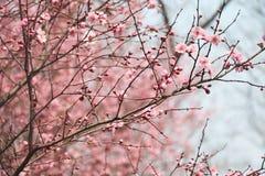 Plommonblomma, skönhet, sol, blomma som är naturlig Arkivbilder
