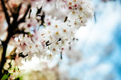 Plommonblomning Royaltyfria Bilder
