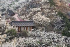 Plommonblomning i koreansk bygd royaltyfria bilder