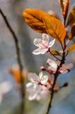 Plommonblomning med sidor Arkivfoto