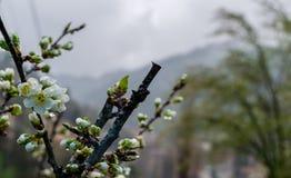 Plommonblomning på en regnig dag i vår Arkivfoto