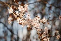 Plommonblomningen Filialer av plommonet Arkivfoton