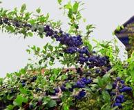Plommoner på en trädfilial Royaltyfri Bild