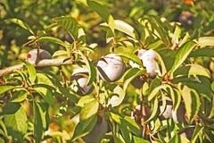 Plommoner på en tree Arkivbild