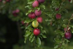 Plommoner på en tree Royaltyfri Bild