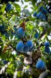 Plommoner på treen Fotografering för Bildbyråer
