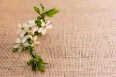 Plommonet blommar hälsningkortet Royaltyfri Bild