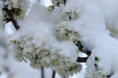 Plommonet blomstrar i snön royaltyfri fotografi