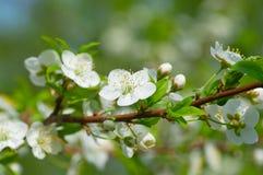 Plommonet blomstrar i trädgården arkivfoton