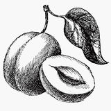 Plommonet och halvan av plun och bladet Isolerad teckning för frukttappningvektor vektor illustrationer