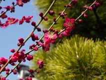 Plommonet och sörjer Royaltyfri Fotografi