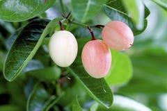 Plommonfrukt Arkivfoton