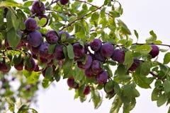 Plommonfruktträdgård i sommar Royaltyfri Fotografi