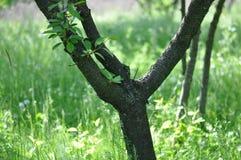 Plommonfruktträdgårddetalj arkivbilder