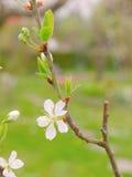 Plommonträd Fotografering för Bildbyråer