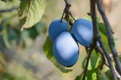 Plommonträd med mogna frukter på filial Royaltyfri Fotografi
