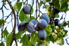 Plommonträd med mogna frukter på filial Royaltyfri Bild