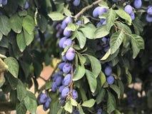Plommonträd med mogna plommoner arkivbild