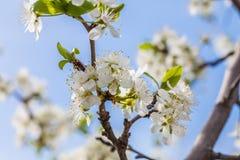 Plommonträd på suddig bakgrund Royaltyfria Foton