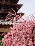 Plommonträd som blommar i en tempel Royaltyfri Fotografi