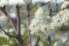 Plommonträd i blomning i vår Arkivbilder