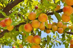 Plommontree med frukter Arkivfoton
