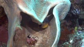 Plongée à l'air de détroit de lembeh de l'Indonésie sous-marine clips vidéos
