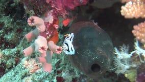 Plongée à l'air de détroit de lembeh de l'Indonésie sous-marine banque de vidéos