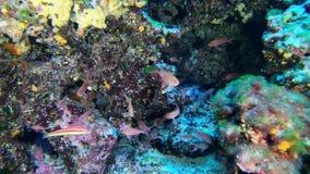 Plongée à l'air profonde - anthias rouges pêche peu 45 mètres de profondeur - vie marine méditerranéenne banque de vidéos
