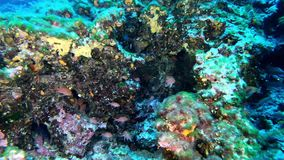 Plongée à l'air profonde - les anthias rouges pêche 45 mètres de profondeur banque de vidéos