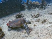Plongée avec la tortue de hawksbill sur le fond de la mer Photo stock