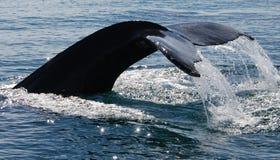 Plongée de baleine de bosse Photos libres de droits