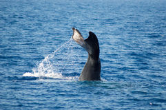 Plongée de baleine de bosse Photos stock