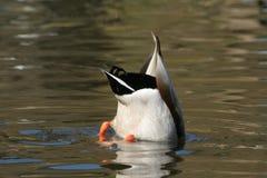 Plongée de canard photo libre de droits