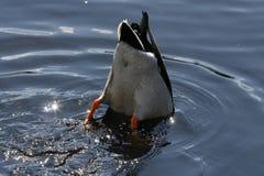 Plongée de canard de colvert photos stock