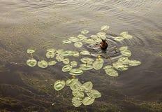 Plongée de canard pour la nourriture Photos libres de droits
