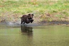 Plongée de chien d'arrêt de Labrador de chocolat Photos stock
