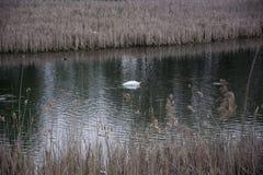 Plongée de cygne dans le lac Photo libre de droits
