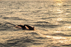 Plongée de dauphin Photographie stock