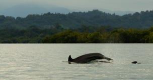 plongée de dauphin dans l'eau calme, baie dans l'archipel du del Toro, mer des Caraïbes, Panama de Bocas Photographie stock libre de droits