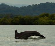 plongée de dauphin dans l'eau calme, baie dans l'archipel du del Toro, mer des Caraïbes, Panama de Bocas Photo libre de droits