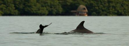 plongée de dauphin dans l'eau calme, baie dans l'archipel du del Toro, mer des Caraïbes, Panama de Bocas images libres de droits
