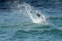 Plongée de pélican de Brown dans une éclaboussure sur la Côte Est du ` s de la Floride Image stock