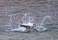 Plongée de pélican pour des poissons images stock